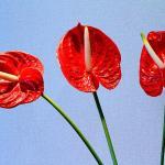 红掌花可以放屋里吗 红掌可以放在客厅吗