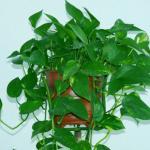 绿萝可以放在卧室吗 卧室放什么植物最好