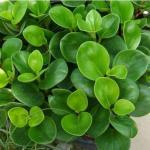 家里种什么植物风水好 风水植物介绍