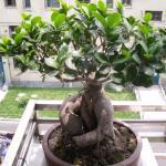家中的榕树盆景怎么养?榕树盆景的养殖方法