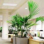 办公室植物的大小如何确定?怎么摆放?