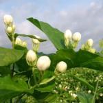 老人家中养茉莉花好吗?风水角度考虑茉莉花的养殖方法