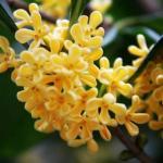 风水植物:桂花的风水作用