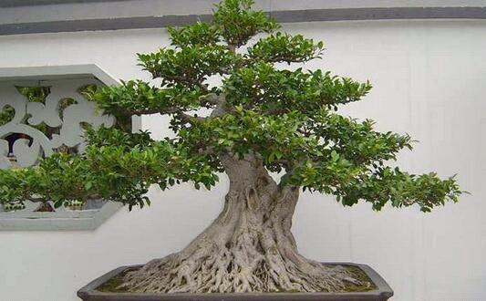 办公室内放榕树盆景好吗?对运势有何影响?