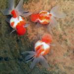 家中养殖风水鱼时如何确保数量合适?