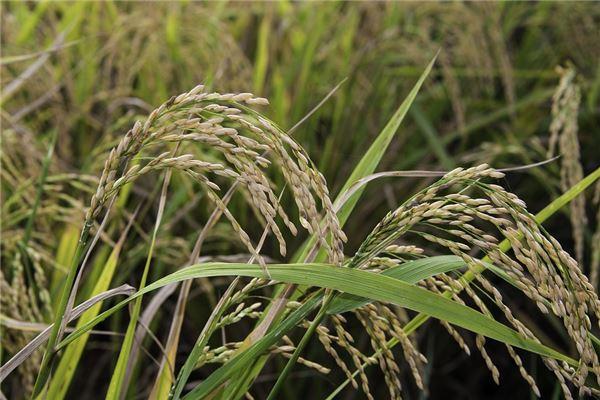 梦见稻田里一片金黄的稻子
