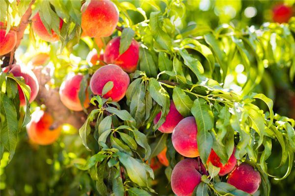 梦到桃树结满桃子