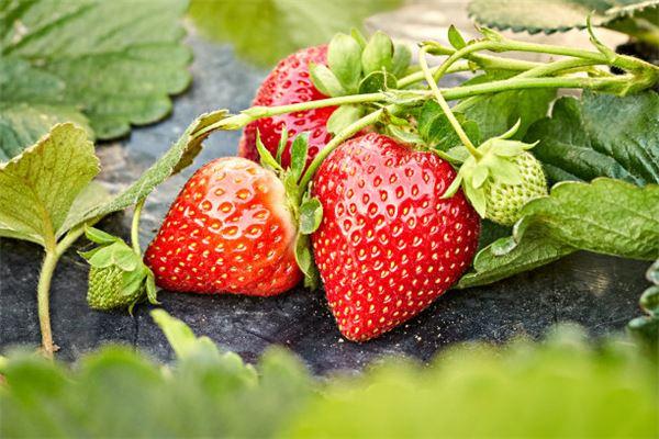 梦见草莓熟了在地里长着