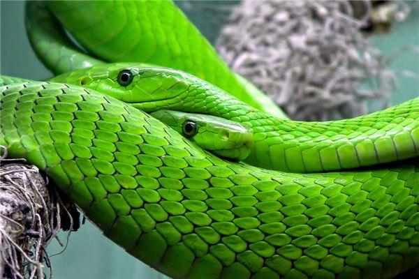 梦见两条很粗的大蛇