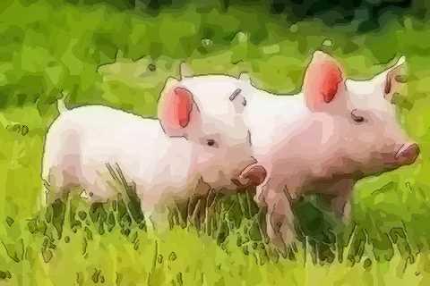 属猪九月出生的人命运原来是这样