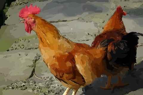 属鸡人出生时辰大解析哪个时辰好