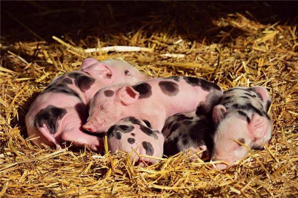 猪年人的秉性与爱情