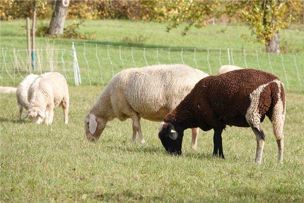 属羊的双子座命运好吗