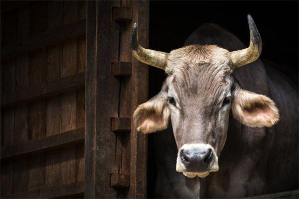 属牛是199几年出生